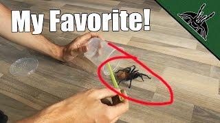 my-favorite-tarantula