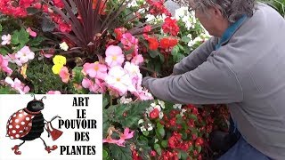 chaine tv de Jardinage: Bégonia tubéreux: Comment faire la Culture et division:  Plantes annuelles