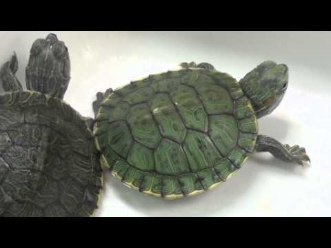How to take care of Turtles! - Jenny Lee