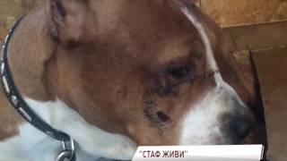 В Ярославле избили и выкинули на помойку стаффордширского терьера