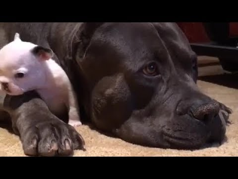 Massive dog preciously protects tiny puppy