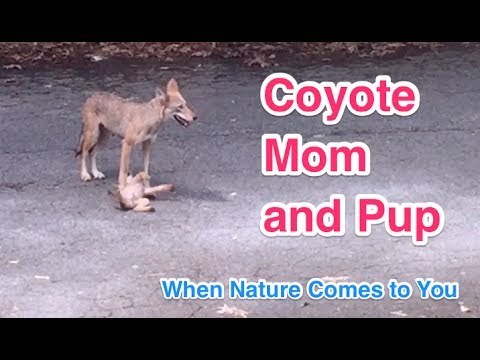 Coyote Mom and Pup - When Nature Comes to You