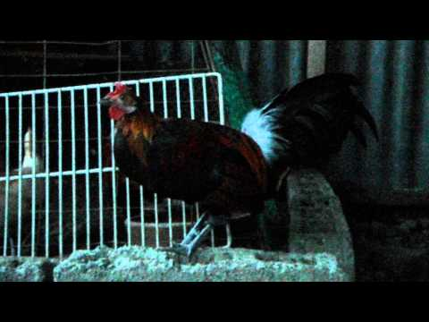Philippine Wild Red Jungle Fowl