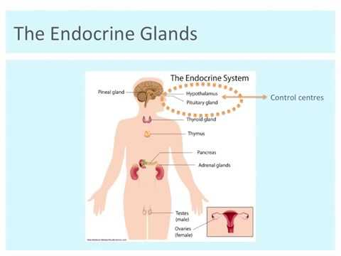 Overview of Endocrine Glands: Location and Function I Year 12 WACE ...