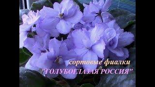 """сорт фиалки """"ГОЛУБОГЛАЗАЯ РОССИЯ"""" // моя коллекция"""