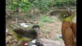 Download Video pikat burung ciblek dapat banyak banget menggunakan mp3 dan getah MP3 3GP MP4