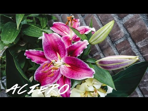 ORIENTAL LILIES GROWING CARE GUIDE