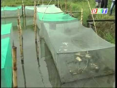 Kỹ thuật nuôi ếch thái lan - mô hình nuôi ếch thái lan