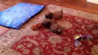 Shih Tzu X Cavalier King Charles Puppies