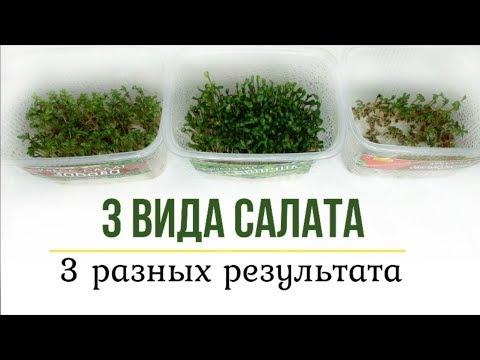 Зелень круглый год! Эксперимент с выращиванием разных сортов салата.