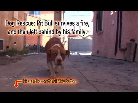 A scared homeless pit bull is found hiding deep in a trash heap. Please share his rescue video ...