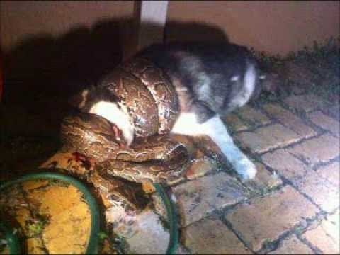 See How This Python Strangled A Helpless Dog To Death