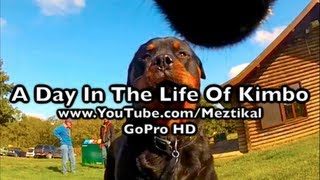 GoPro Dog - A Day In The Life Of Kimbo - Camera mounted on my Rottweiler at the woods