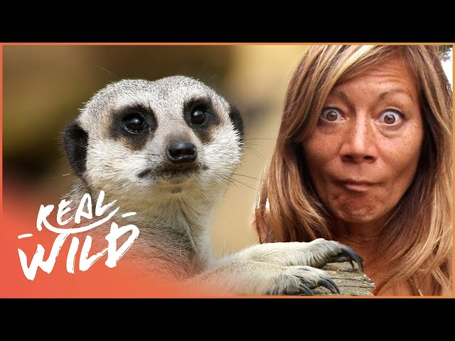 Breeding Meerkats Is Not Easy | Anna's Wildlife | Real Wild