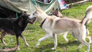 test video from canon xc15 - Tamaskans at the dog park