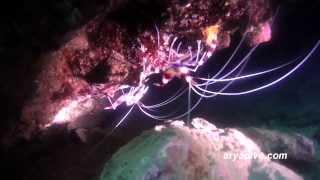 청소새우(Stenopus hispidus)~ Banded boxer shrimp