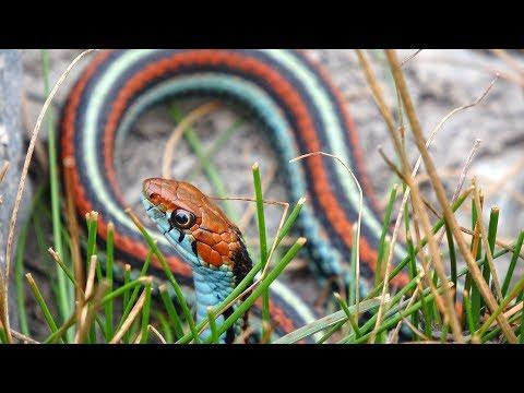 Field Herping | San Francisco Garter Snake