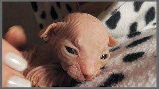 Мои маленькие инопланетяне ツ Котята Сфинксы ♥
