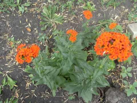 Садовые цветы многолетники фото