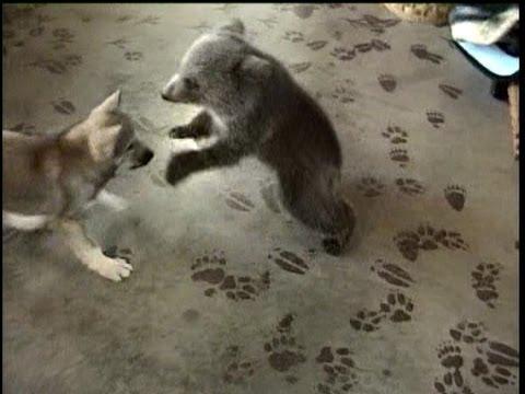 Grizly Bear Cub & Wolf Cub Playing - (c) Denmortube