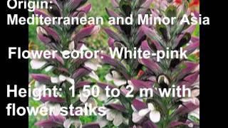 Perennial Flowers_Acanthus mollis_bear