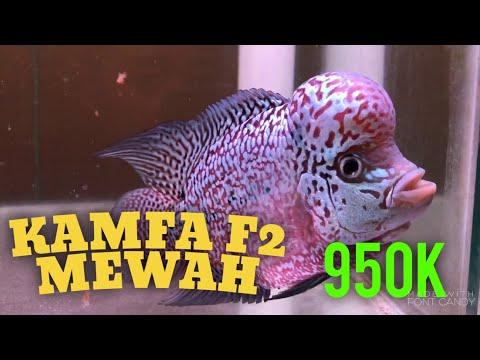 ikan-louhan-kamfa-f2-super-mewah-??-katanya-mau-di-jual-950.000-||-vlog-eiknumoto