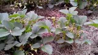 выращивание клубники. Как защитить плоды(Как выращивать клубнику - тоже процесс зависящий от участия хозяина. Если вам нужно защитить клубнику от..., 2015-05-19T08:09:59.000Z)
