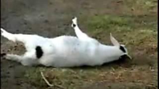 羊會裝死.wmv