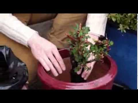 Comment planter les rosiers en pot youtube - Comment couper les rosiers ...