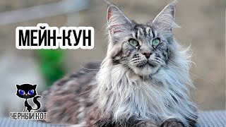 МЕЙН-КУН / Интересные факты о кошках