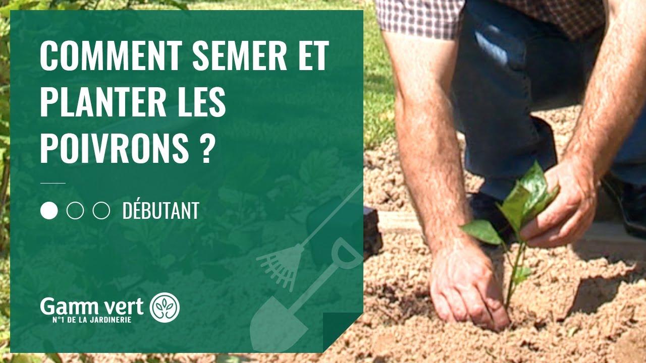 TUTO Comment semer et planter les poivrons ...