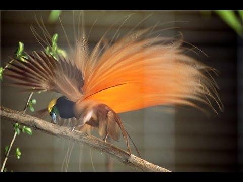 Райские птицы.