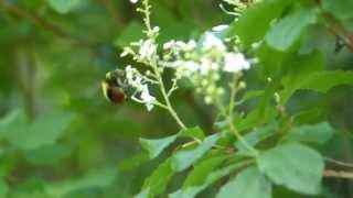 Drone Bumblebee on Elliottia クロマルハナバチ♂がホツツジに訪花吸蜜