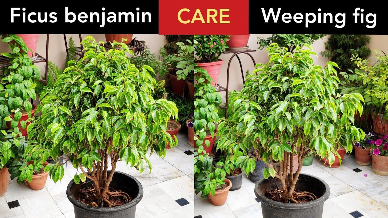 Ficus benjamin plant// weeping fig tree grow care fertilizer tips, Ficus के पौधे की देखभाल