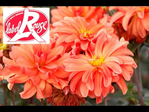 Comment bien planter des dahlias label rouge youtube - Comment planter des dahlias ...