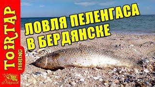 Ловля ПЕЛЕНГАСА в БЕРДЯНСКЕ