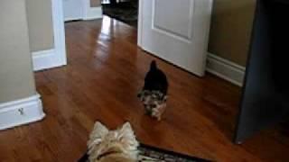 Yorkie Stalking Cairn Terrier
