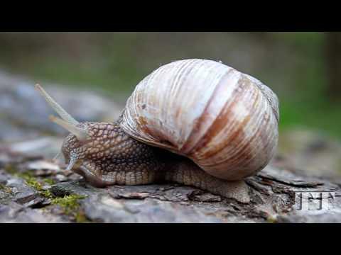 Grape snail.  Helix pomatia. Виноградная улитка.