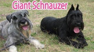 Giant Schnauzer Breed