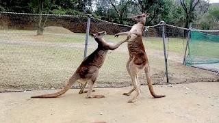 喧嘩しているカンガルーにエサをあげてみた動画です。 (長崎バイオパー...