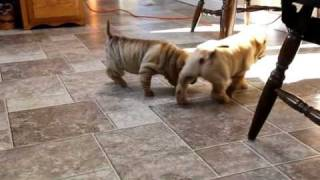 Chinese Shar Pei Puppies For Sale