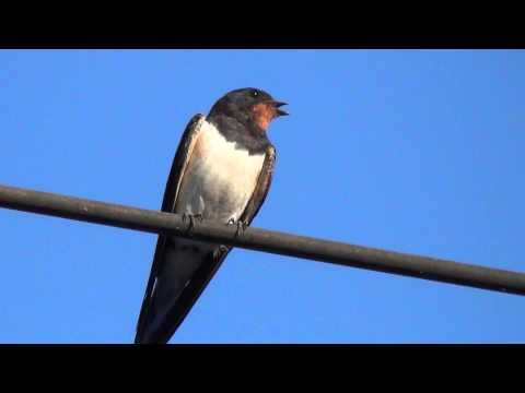 Птицы Ласточки
