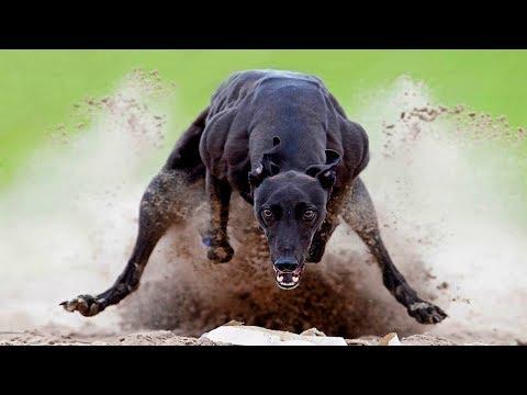 Самые быстрые собаки в мире. От таких точно не убежать...