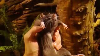 Локи охотится на крупного крыса, чему то научился, крайнее кормление крысом.