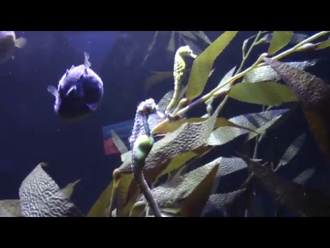 Pregnant Seahorse at Omaha Zoo