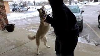 Siberian Husky Attacking Or Begging For Help? - Dog Whisperer Big Chuck Mcbride