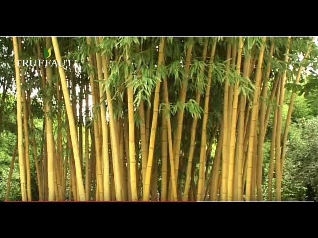 entretenir les bambous conseils d un