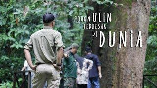 Video Pohon Ulin Terbesar Di Dunia Taman Nasioanal Kutai - Kunjungan Dispar | UJS tv pariwisata download MP3, 3GP, MP4, WEBM, AVI, FLV Maret 2018