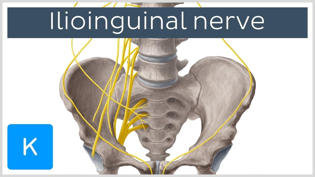 Ilioinguinal Nerve - Course & Innervation - Human Anatomy | Kenhub ...