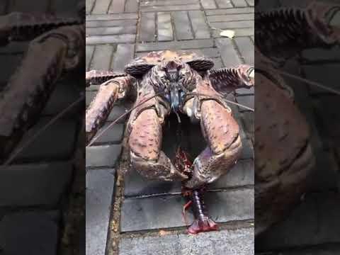 Epic Lobster Vs Coconut Crab Battle